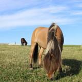 heste_4-kopi