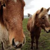 heste_nø_