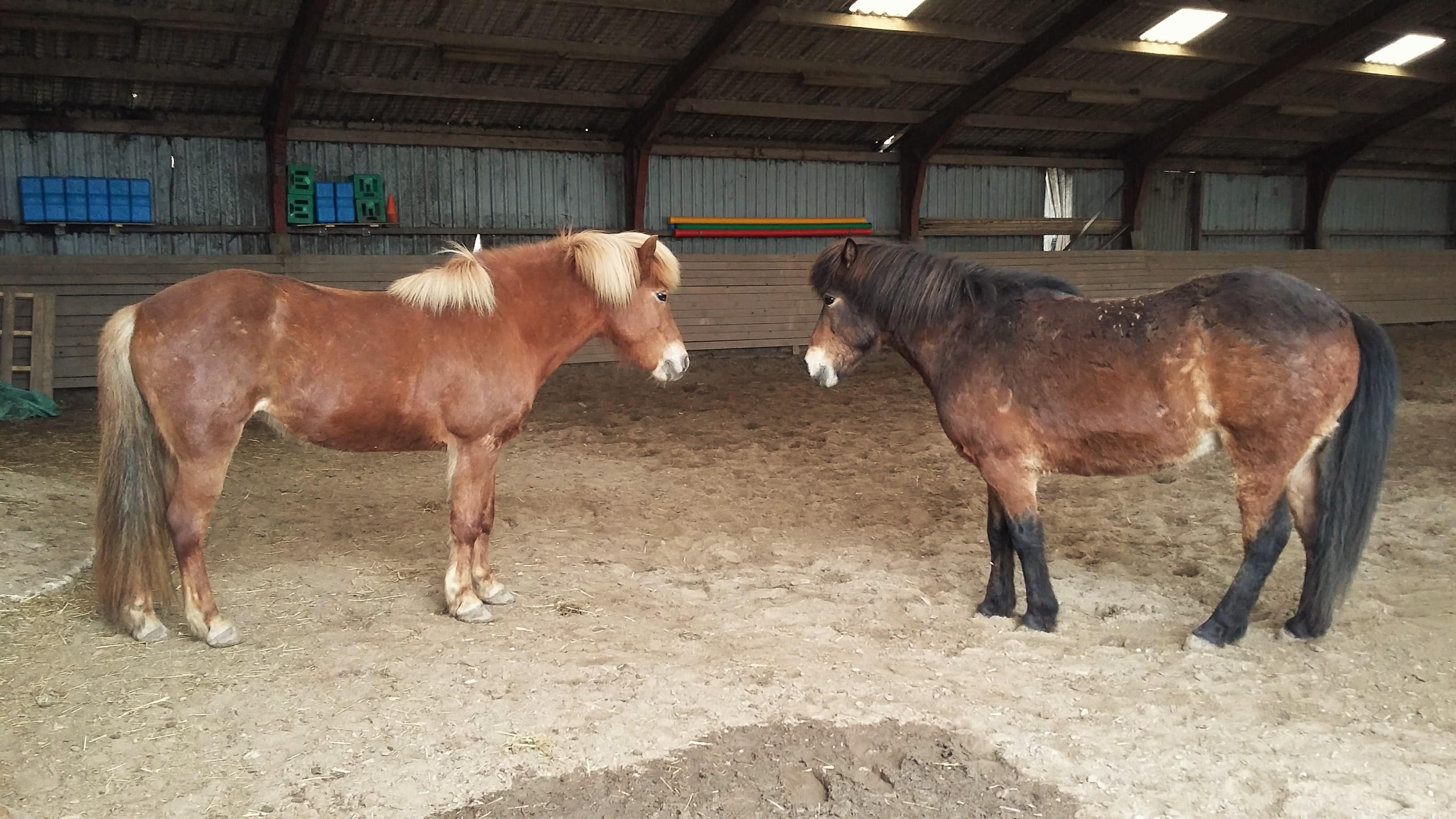 Nye heste islandske heste Samsø